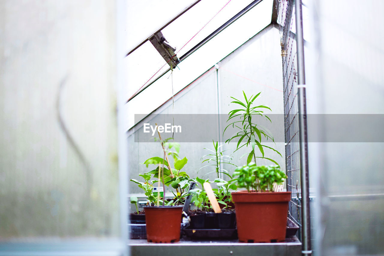 POTTED PLANTS GROWING IN GREENHOUSE AGAINST WINDOW