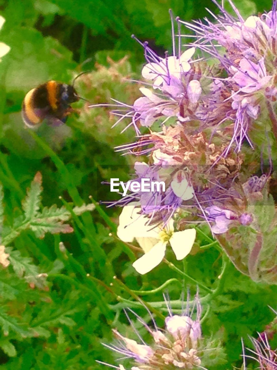 flower, insect, fragility, one animal, animal themes, growth, animals in the wild, nature, beauty in nature, freshness, petal, purple, plant, no people, bee, day, close-up, pollination, outdoors, animal wildlife, flower head, buzzing