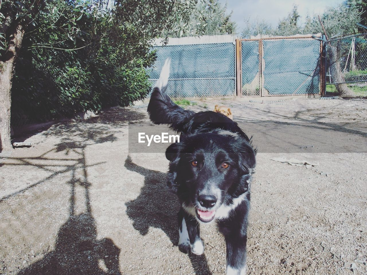 Close-up portrait of border collie on sunny day