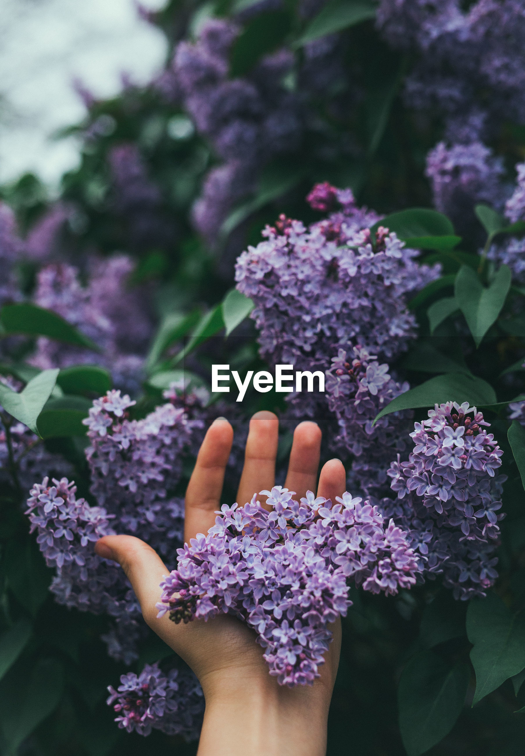 Cropped hand touching purple lilacs blooming outdoors