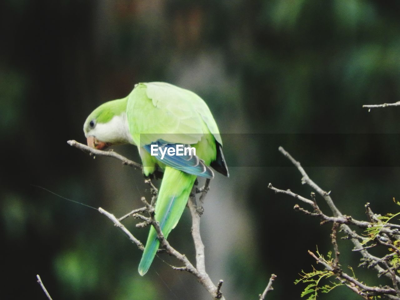 bird, animal themes, one animal, animals in the wild, focus on foreground, animal wildlife, green color, perching, parrot, nature, no people, close-up, day, branch, outdoors, stick - plant part, tree, spread wings