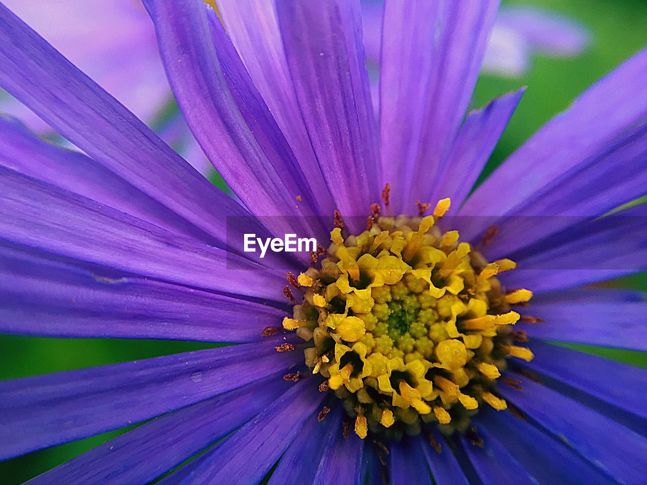 flower, flowering plant, beauty in nature, freshness, petal, vulnerability, flower head, fragility, growth, plant, inflorescence, close-up, pollen, purple, nature, yellow, no people, full frame, focus on foreground, springtime, gazania