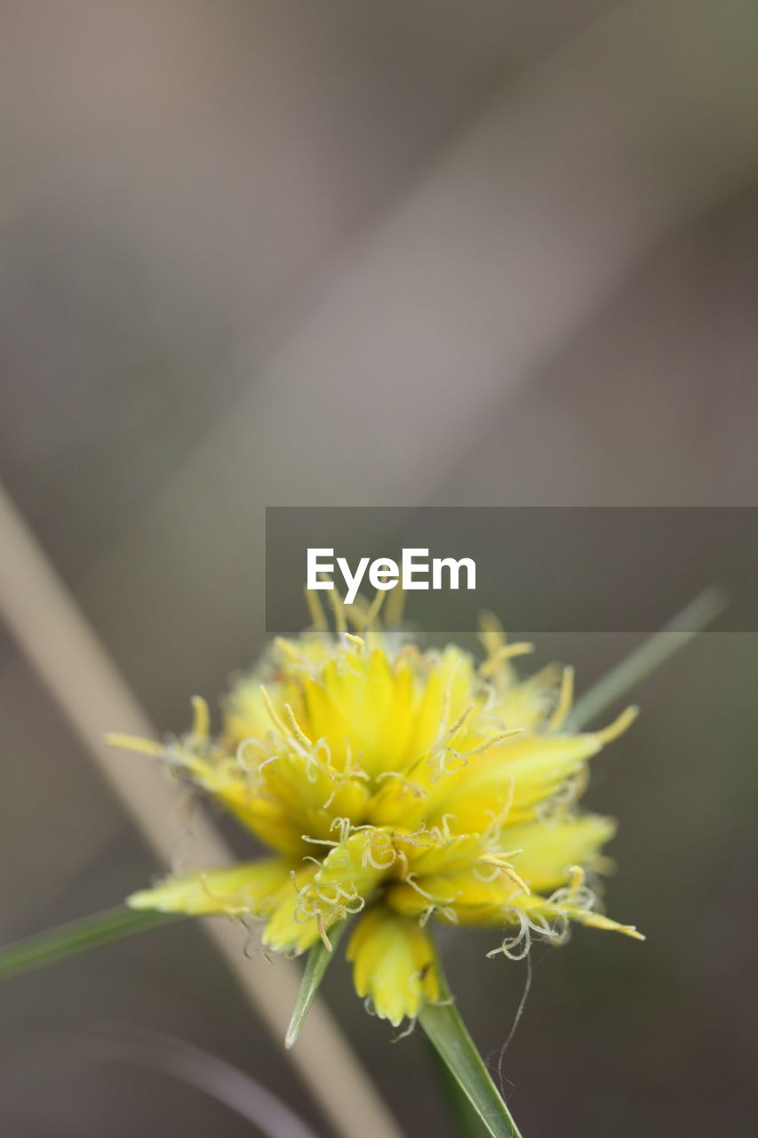 flower, flowering plant, plant, vulnerability, beauty in nature, fragility, close-up, yellow, growth, freshness, nature, flower head, inflorescence, petal, day, no people, focus on foreground, outdoors, selective focus, pollen