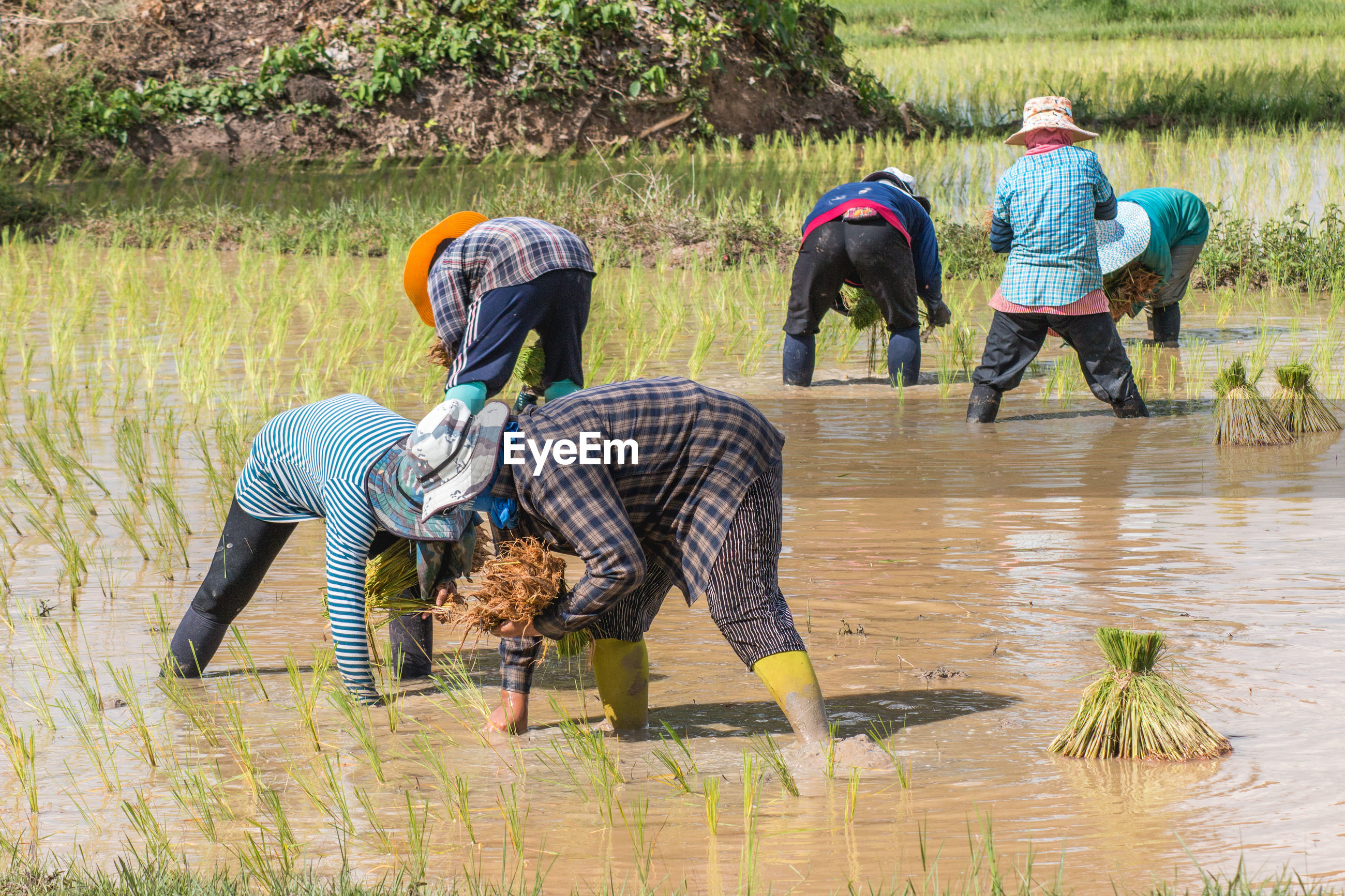 Farmers planting rice plants on field during monsoon