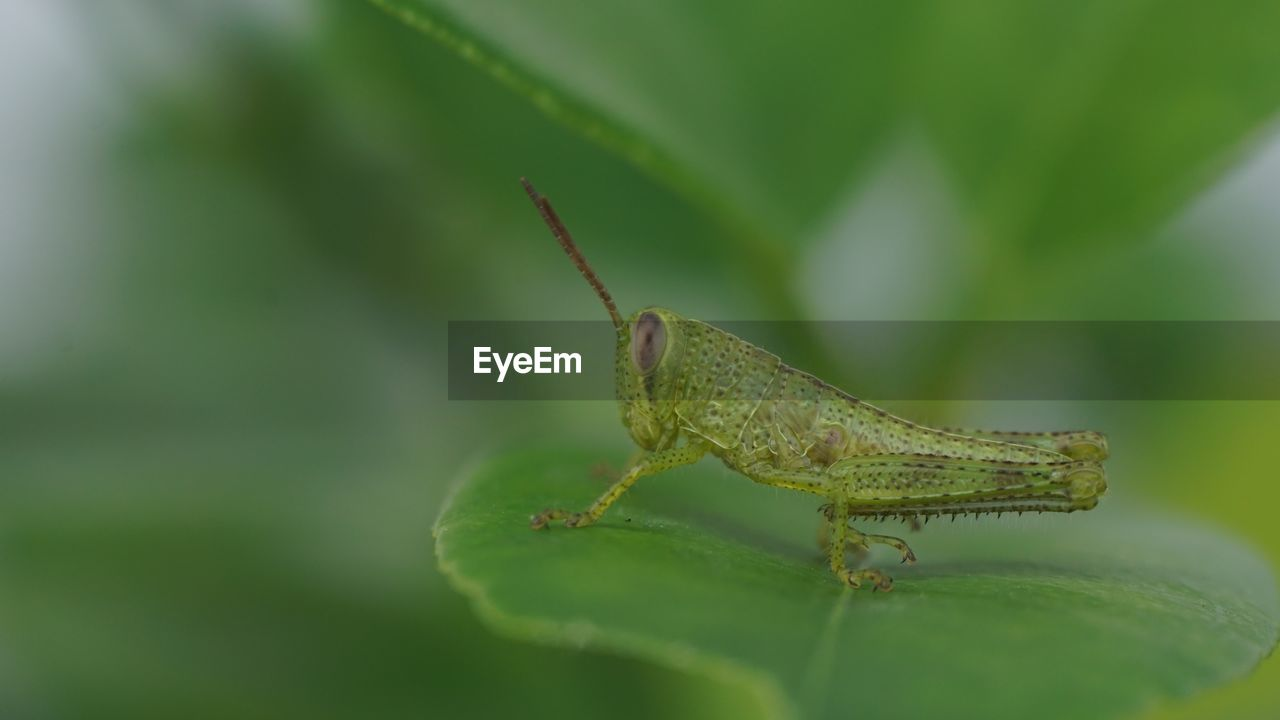 insect, one animal, green color, invertebrate, animal themes, animal, animal wildlife, close-up, animals in the wild, plant part, selective focus, leaf, nature, grasshopper, no people, day, animal body part, animal antenna, plant, growth