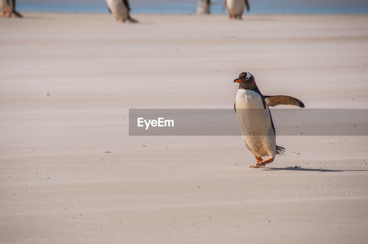 Baby penguin running on beach