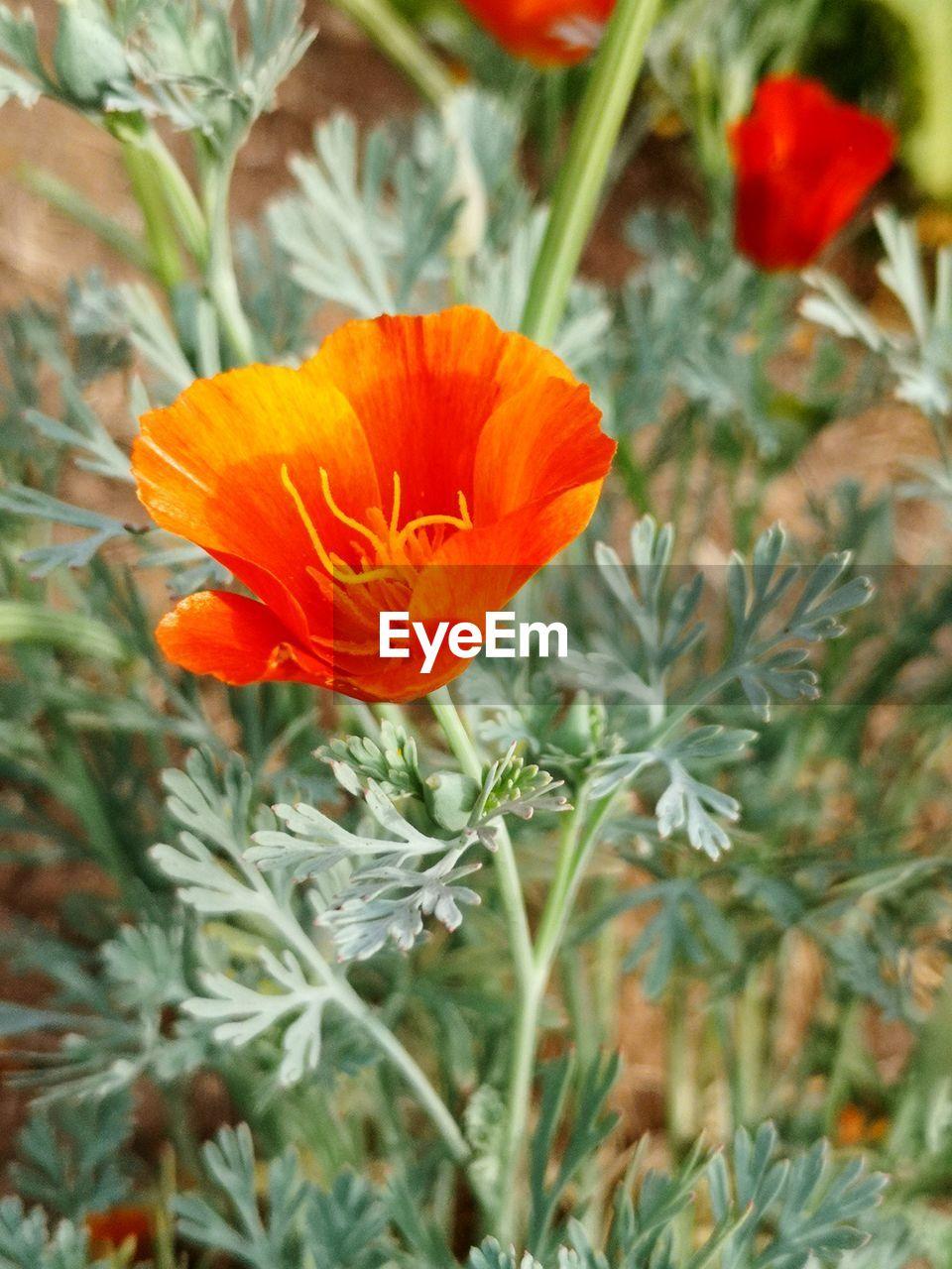Close-Up Of Orange Flower On Field