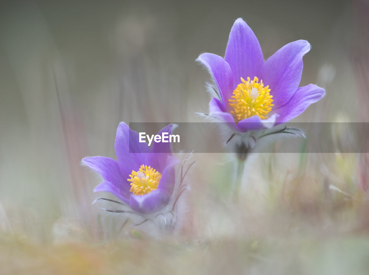 flowering plant, flower, vulnerability, fragility, plant, freshness, beauty in nature, petal, selective focus, growth, close-up, inflorescence, flower head, nature, no people, pollen, day, pink color, iris, land, crocus, purple