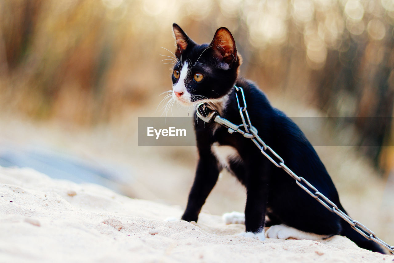 Black cat with chain looking away while sitting on sand