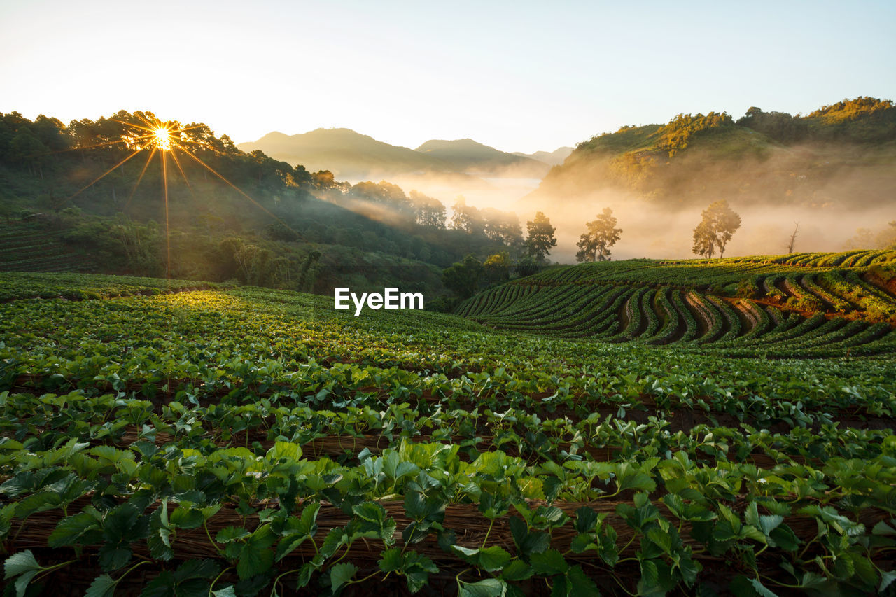Scenic View Of Agricultural Field At Sunset