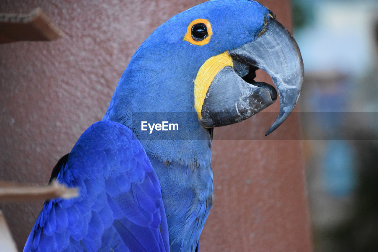 blue Hyacinth macaw parrot Bird Animal Themes Beak Parrot Blue One Animal Day Macaw Animal Head  Feathers Polly Tropical Avian Colorfull Colorful Imitator Exotic Hyacinth Macaw Outdoors Animal Eye Close-up No People Animals In The Wild Nature Animal Vertebrate