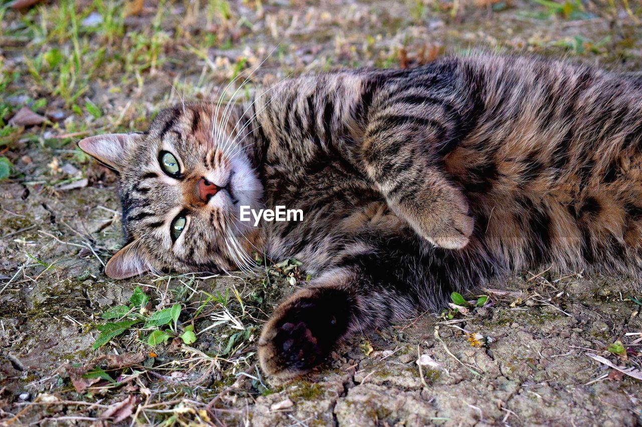 cat, feline, mammal, domestic cat, relaxation, animal themes, animal, pets, lying down, domestic, domestic animals, resting, one animal, vertebrate, looking at camera, no people, field, land, nature, day, whisker, tabby