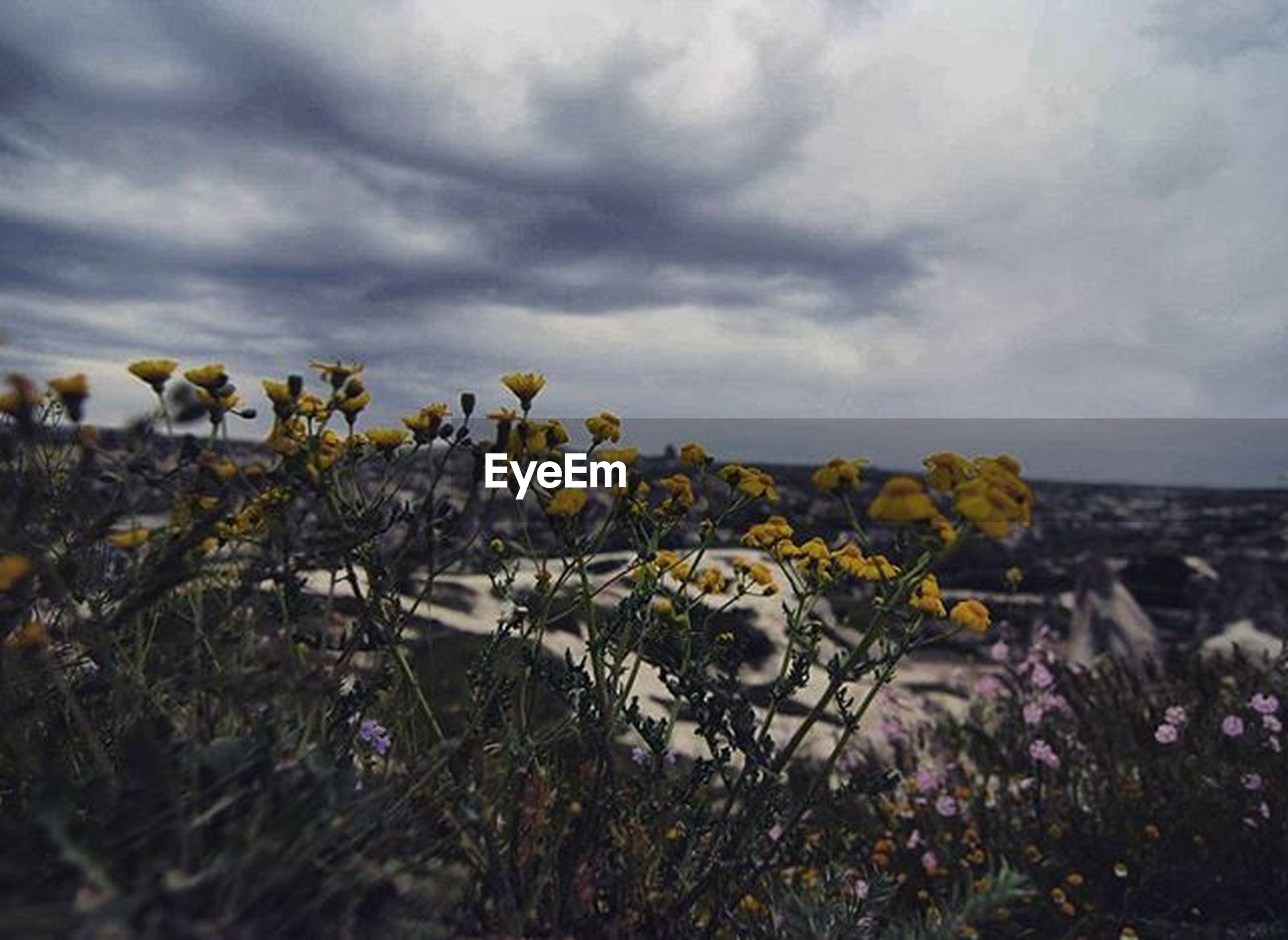 flower, sky, cloud - sky, growth, beauty in nature, plant, nature, cloudy, freshness, field, fragility, cloud, landscape, tranquility, tranquil scene, blooming, yellow, scenics, in bloom, rural scene