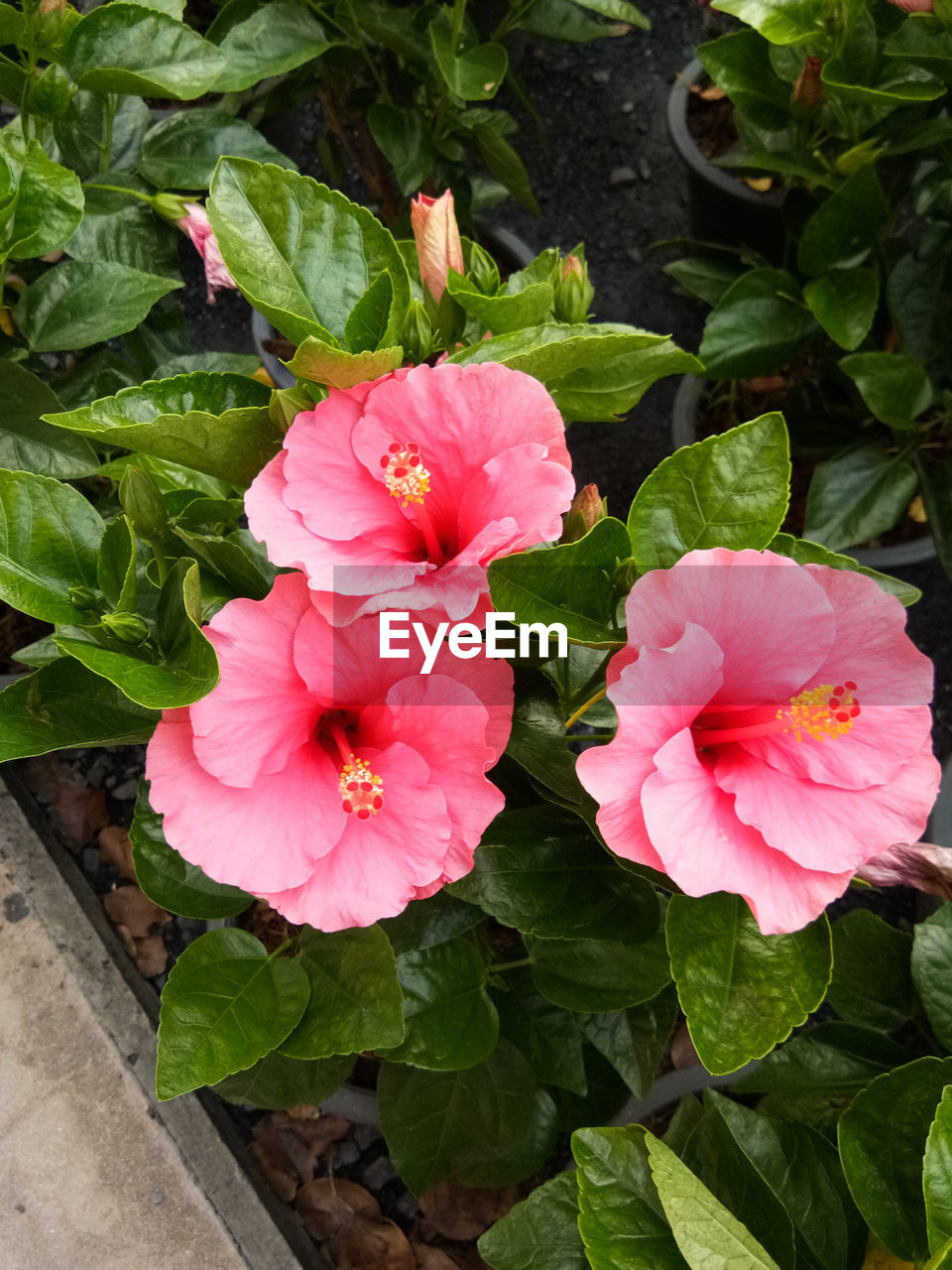 flower, growth, leaf, petal, flower head, beauty in nature, plant, freshness, nature, fragility, blooming, pink color, green color, no people, outdoors, day, close-up, periwinkle