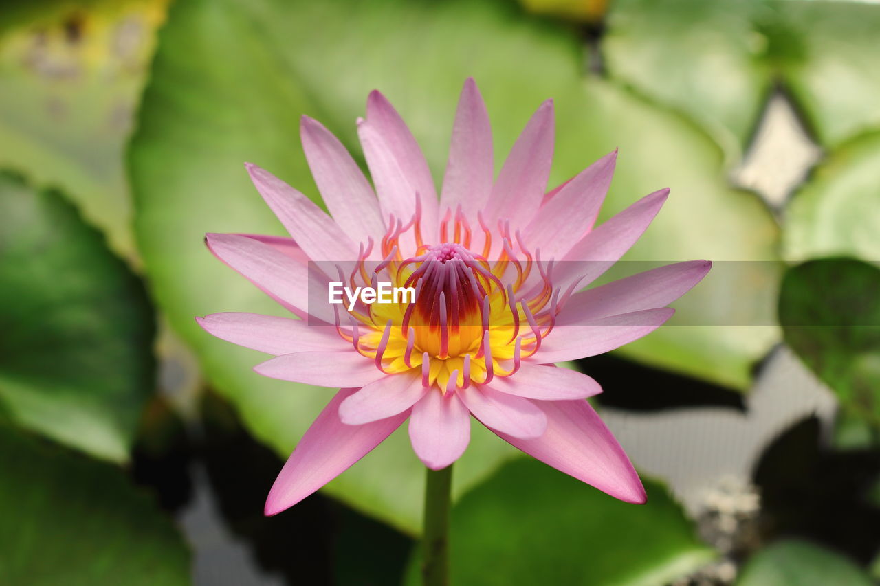 flower, petal, beauty in nature, nature, flower head, freshness, fragility, growth, no people, close-up, one animal, outdoors, plant, day, animal themes, water lily, blooming, lotus water lily, bee
