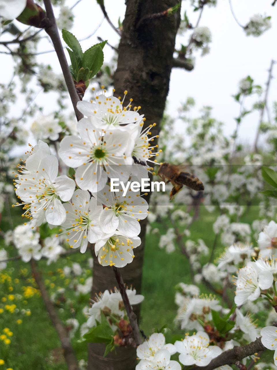 CLOSE-UP OF INSECT ON WHITE FLOWERING TREE