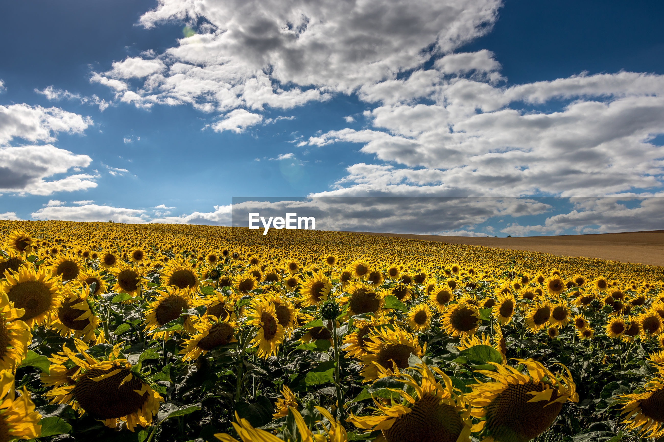 SCENIC VIEW OF SUNFLOWER FIELD AGAINST CLOUDY SKY DURING SUNSET