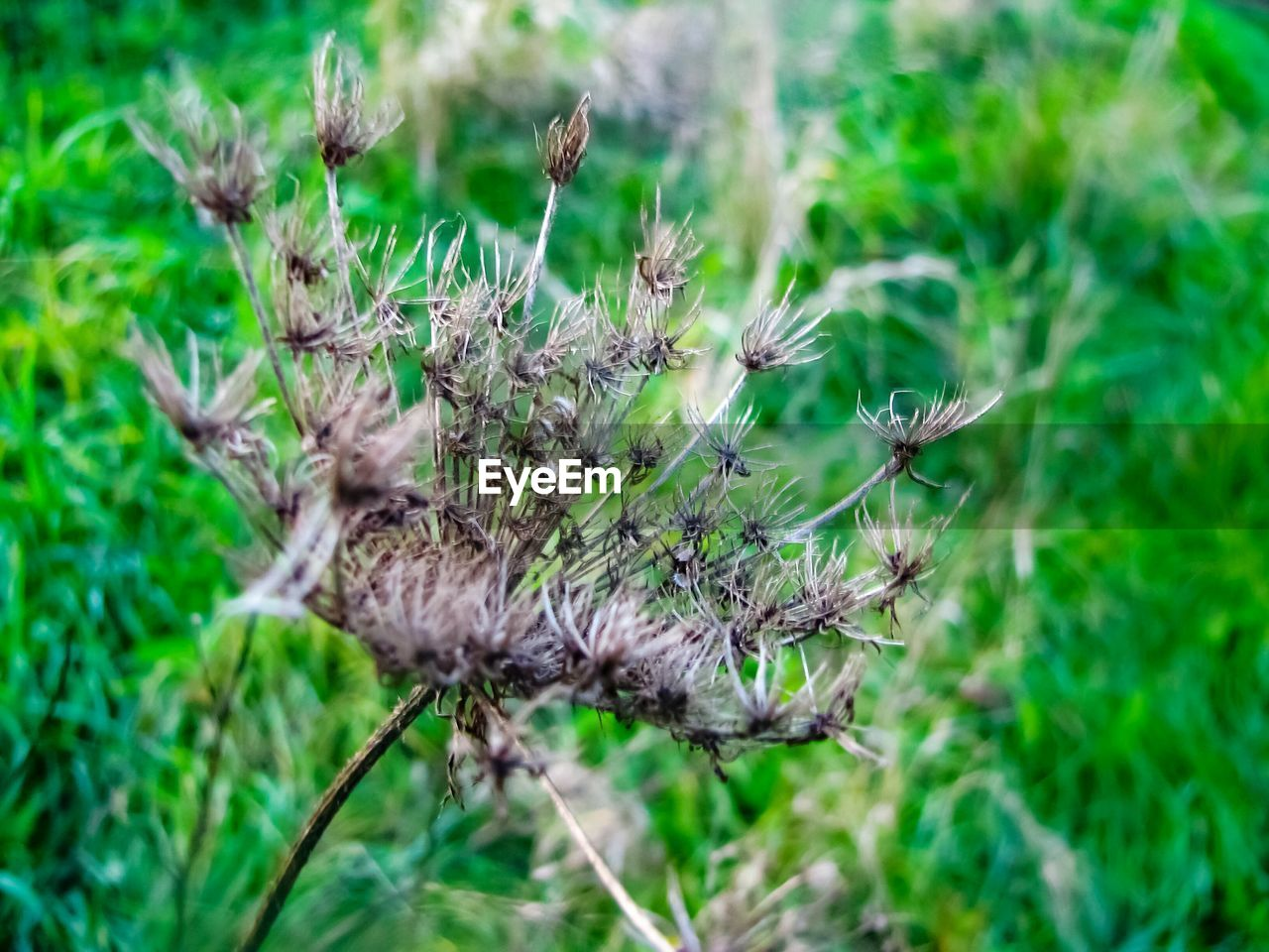 nature, plant, growth, green color, grass, outdoors, no people, day, flower, thistle, close-up