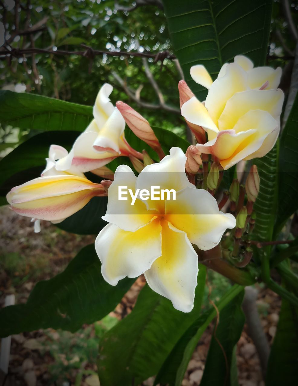flower, petal, beauty in nature, fragility, flower head, freshness, nature, growth, yellow, plant, blooming, day, close-up, outdoors, no people, frangipani, springtime, tree, day lily