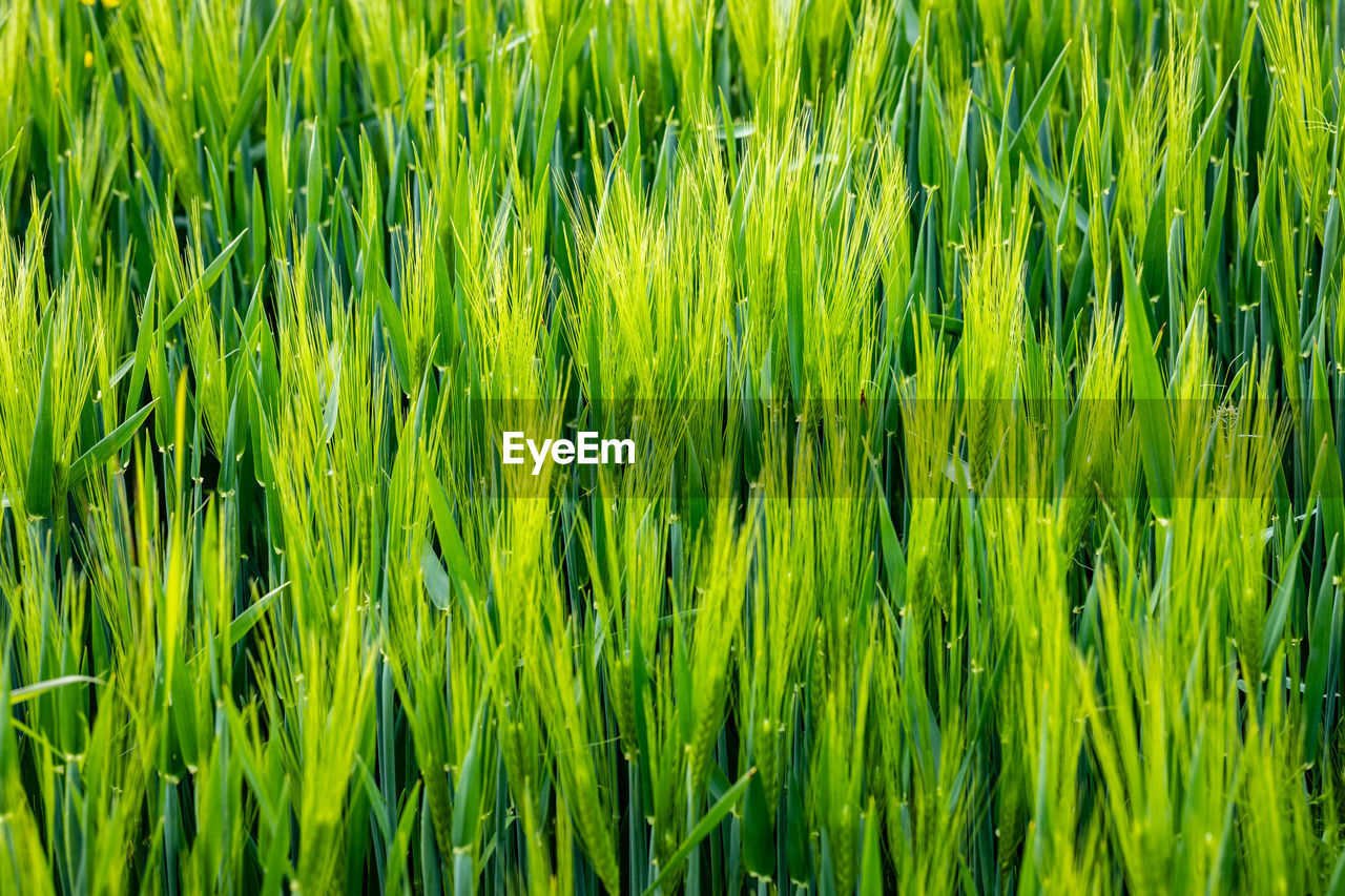 green color, plant, backgrounds, full frame, agriculture, field, growth, crop, cereal plant, rural scene, land, landscape, nature, beauty in nature, grass, no people, farm, environment, day, freshness, outdoors, blade of grass