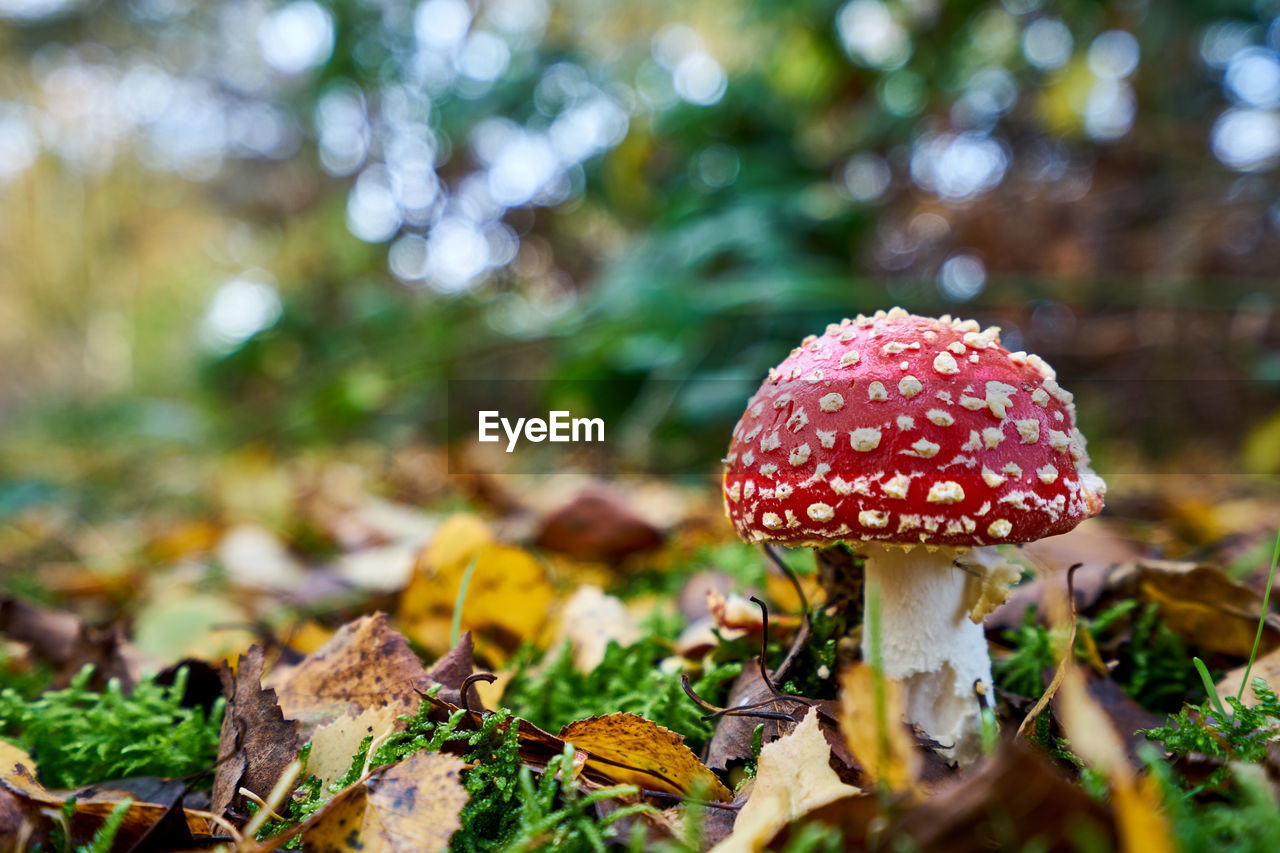 mushroom, nature, fungus, toadstool, fly agaric mushroom, close-up, beauty in nature, leaf, growth, outdoors, no people, day, red, fly agaric, fragility, freshness