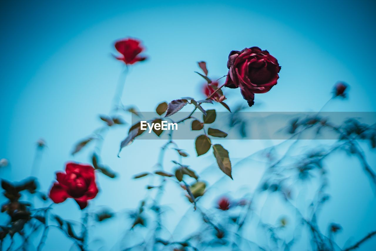 plant, flower, red, flowering plant, beauty in nature, freshness, close-up, fragility, growth, vulnerability, focus on foreground, nature, petal, no people, rose, flower head, inflorescence, rose - flower, blue, day, outdoors