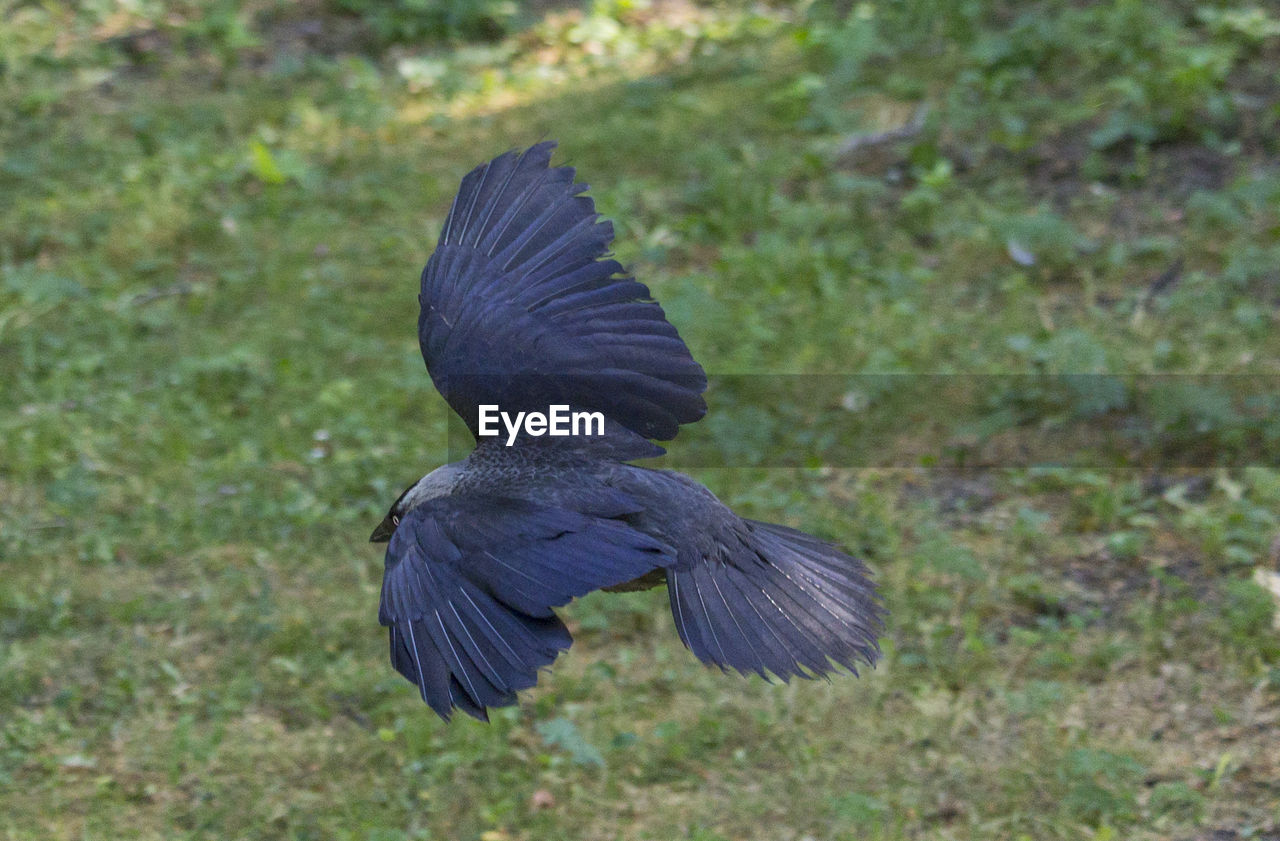 one animal, bird, animals in the wild, animal wildlife, vertebrate, spread wings, no people, flying, nature, day, outdoors, motion, black color, on the move, land, focus on foreground, rear view