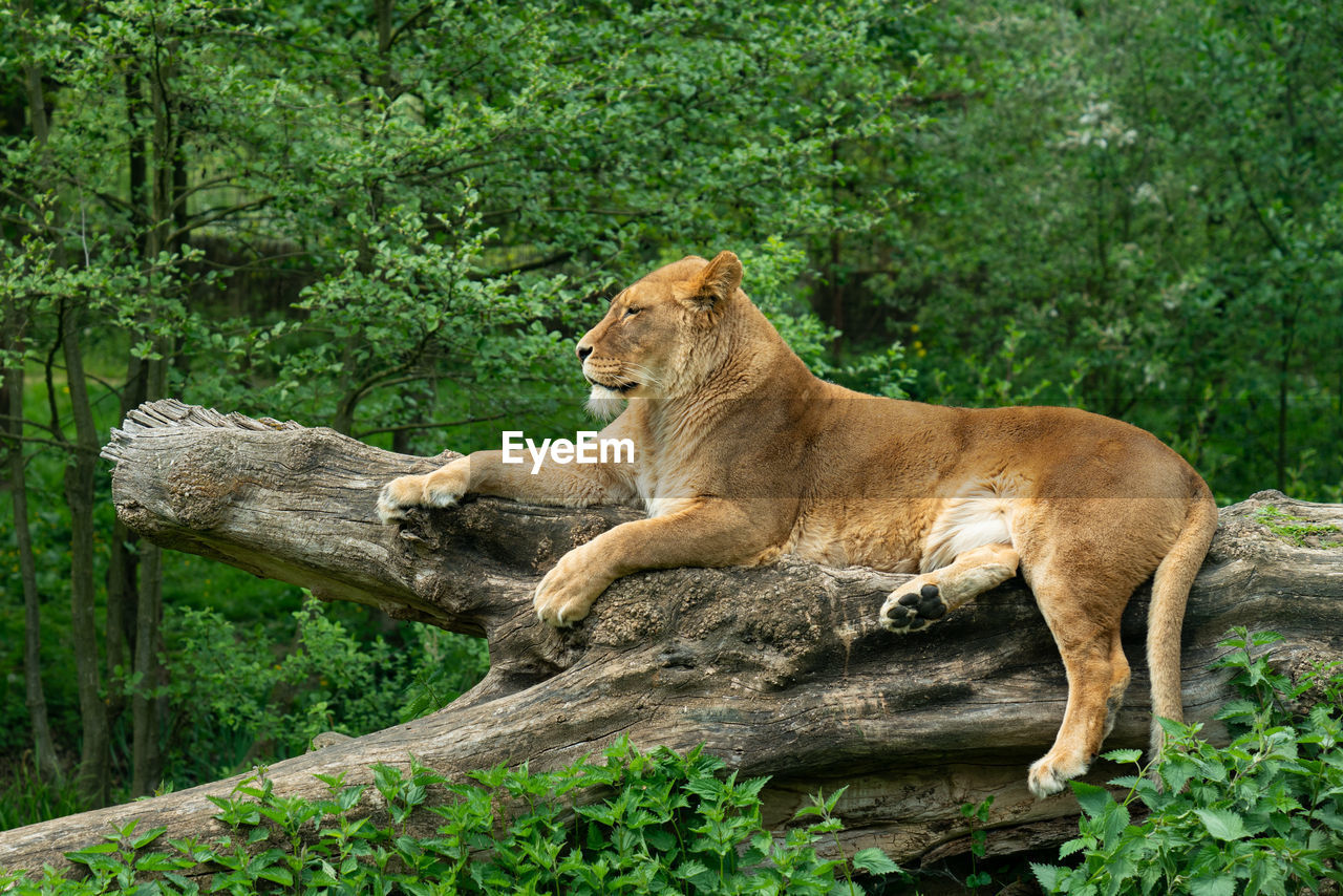 tree, lion - feline, mammal, animal wildlife, animals in the wild, animal, plant, animal themes, feline, cat, lioness, female animal, vertebrate, forest, relaxation, nature, day, one animal, no people, outdoors