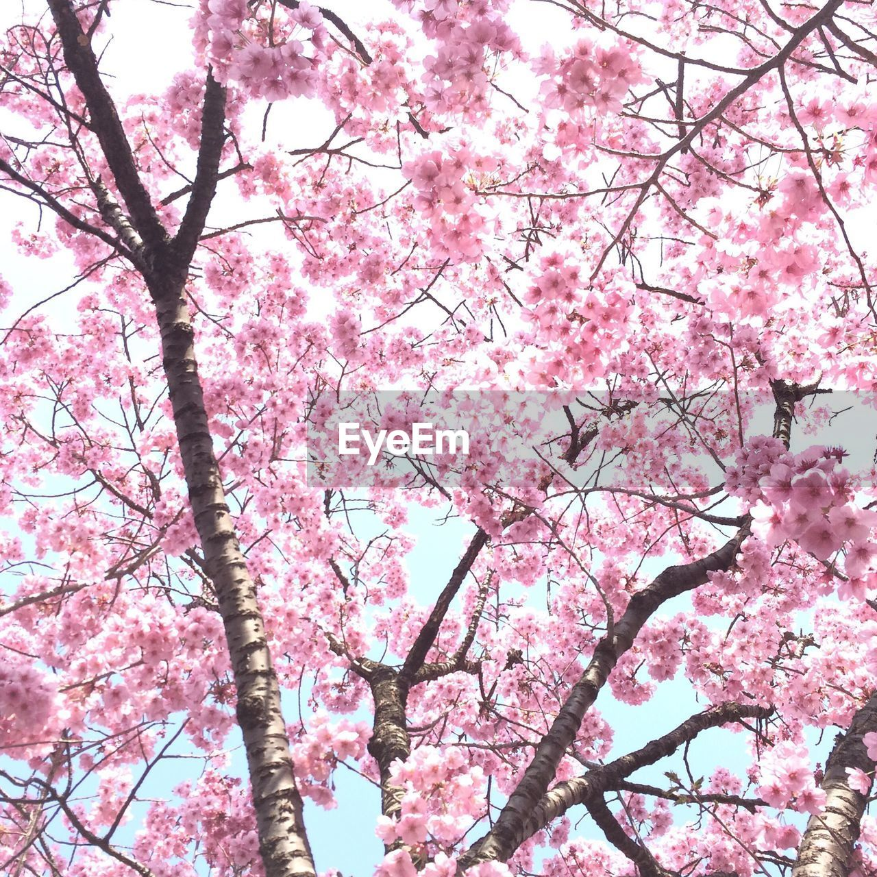 flower, pink color, tree, blossom, cherry blossom, beauty in nature, branch, springtime, cherry tree, growth, nature, low angle view, freshness, fragility, botany, magnolia, pink, no people, orchard, day, backgrounds, petal, plum blossom, outdoors, sky, spring, tranquility, clear sky, scenics, blooming, flower head, close-up