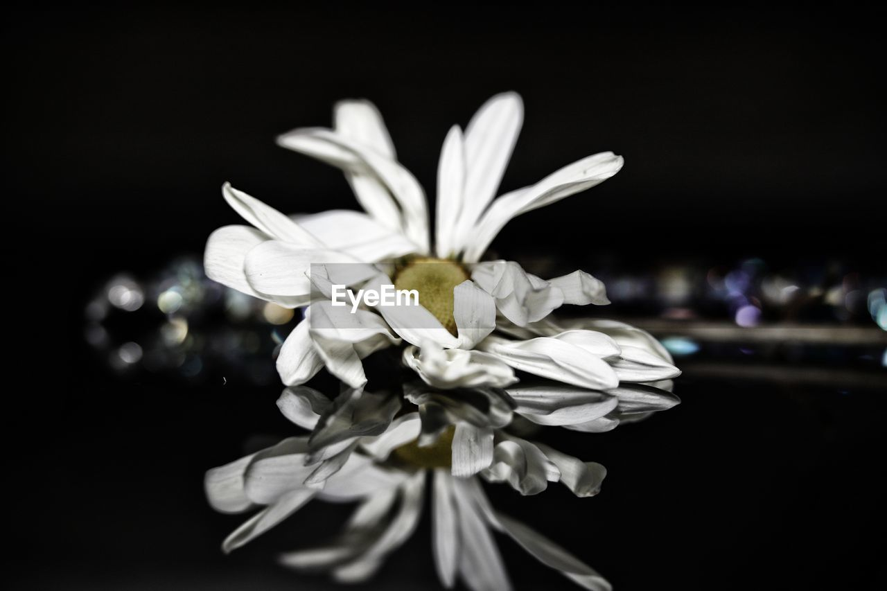 flower, flowering plant, plant, beauty in nature, close-up, vulnerability, freshness, fragility, petal, inflorescence, growth, flower head, no people, focus on foreground, white color, night, nature, studio shot, selective focus, black background, pollen