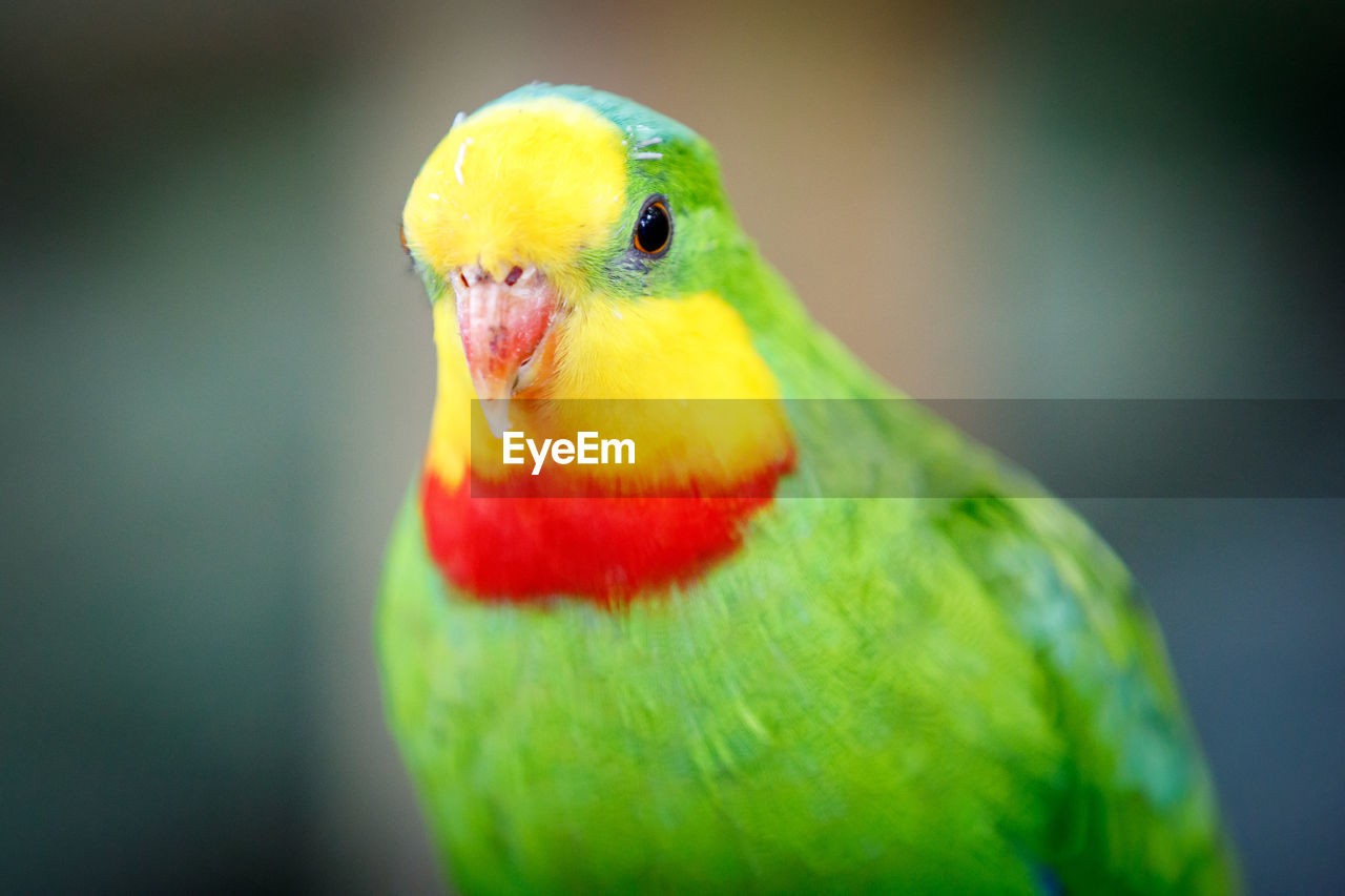 bird, animal themes, parrot, one animal, animals in the wild, close-up, multi colored, focus on foreground, green color, no people, animal wildlife, beak, yellow, nature, beauty in nature, rainbow lorikeet, outdoors, day