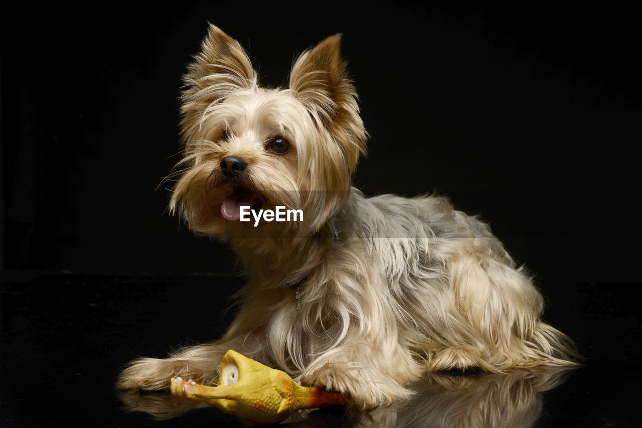 one animal, domestic animals, pets, mammal, domestic, animal themes, dog, animal, canine, vertebrate, animal hair, indoors, no people, hair, west highland white terrier, lap dog, looking at camera, portrait, close-up, black background, small