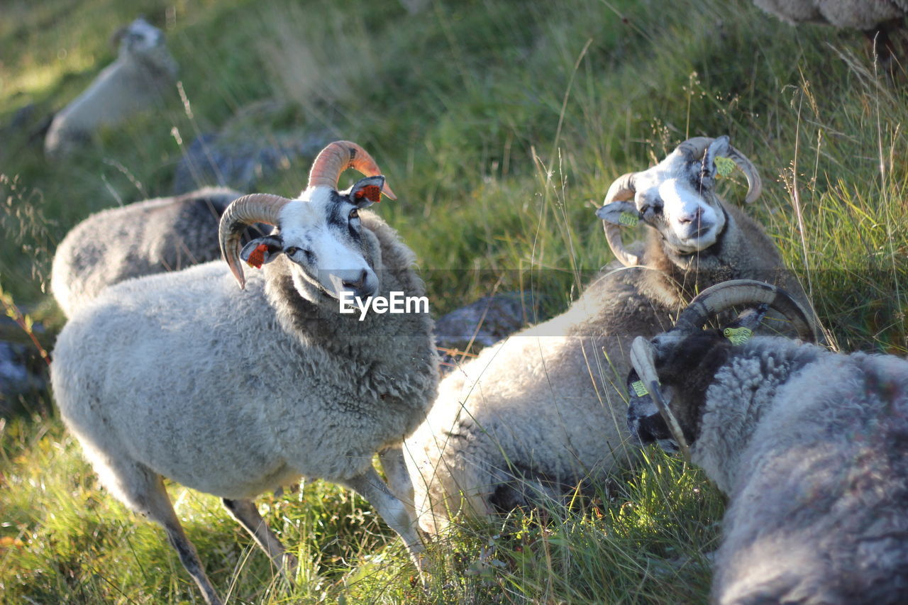 Tilt Shot Of Sheep On Grassy Field