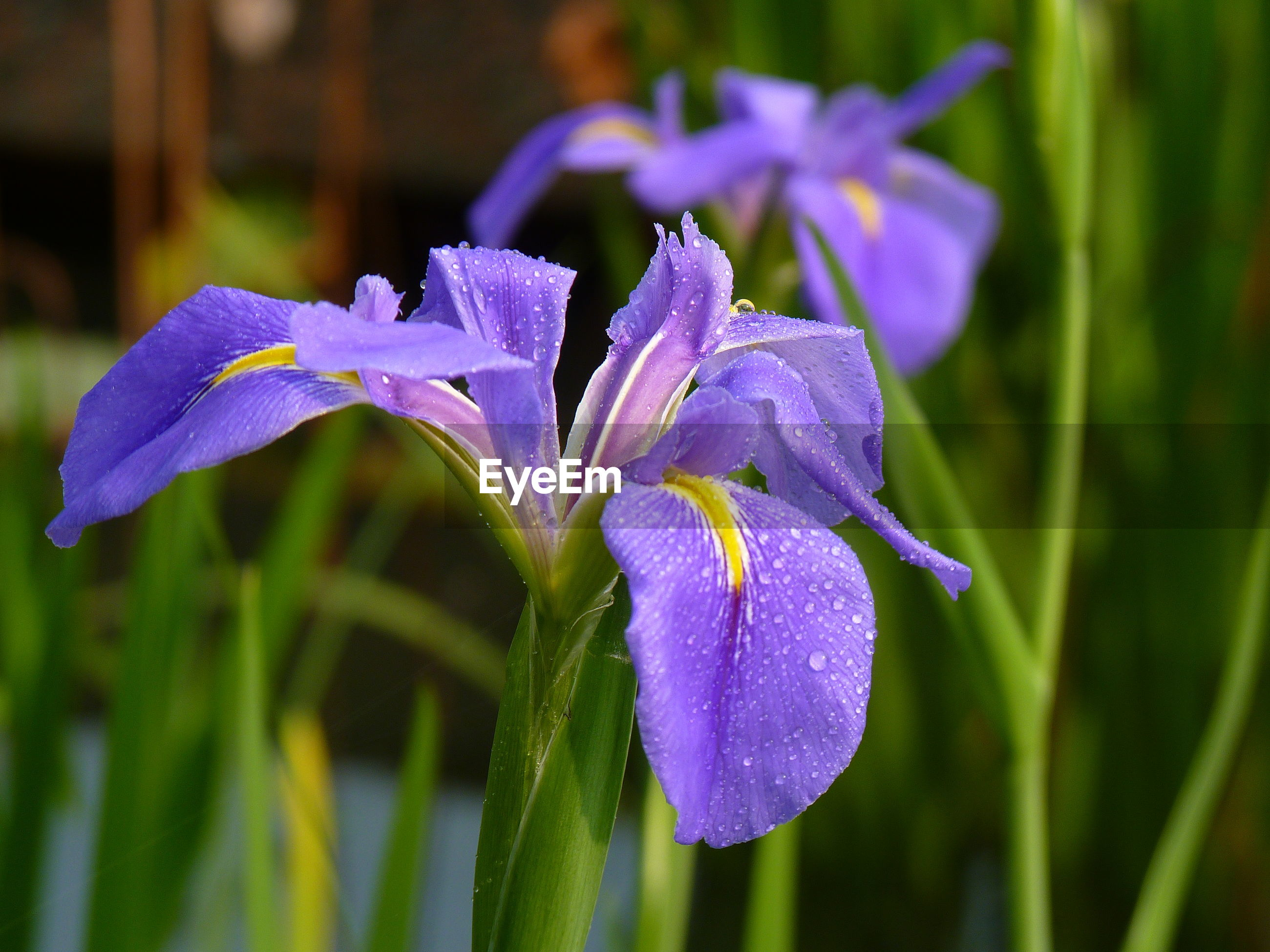 CLOSE-UP OF FRESH PURPLE IRIS BLOOMING OUTDOORS