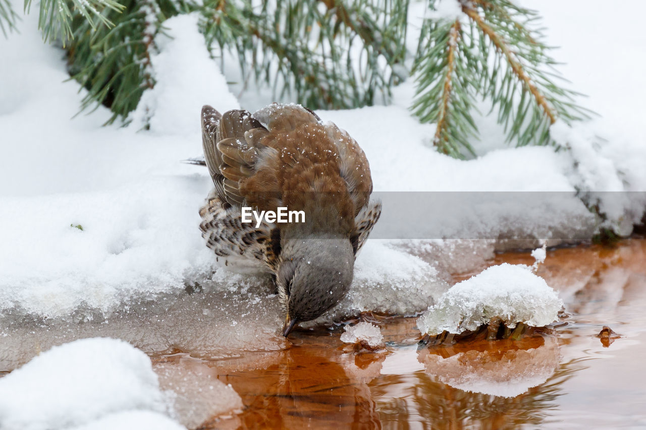 snow, winter, cold temperature, one animal, animal themes, animal, no people, nature, focus on foreground, animals in the wild, day, white color, animal wildlife, tree, beauty in nature, water, close-up, motion, vertebrate, marine