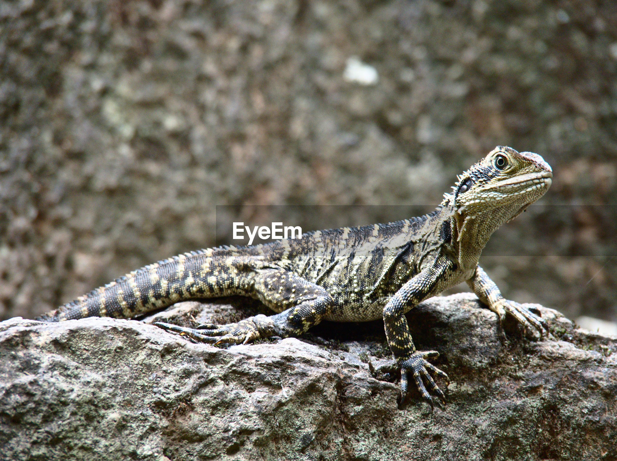 animal themes, animals in the wild, one animal, wildlife, focus on foreground, reptile, lizard, close-up, side view, rock - object, full length, nature, outdoors, day, no people, selective focus, zoology, perching, bird, animal markings