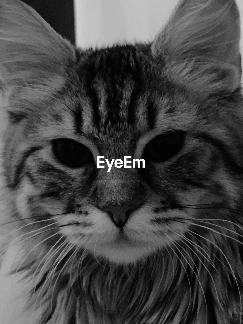 cat, one animal, mammal, pets, feline, domestic cat, domestic, domestic animals, close-up, whisker, vertebrate, portrait, indoors, no people, looking at camera, animal body part, animal eye, tabby