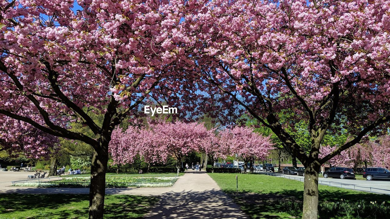 plant, tree, beauty in nature, flowering plant, blossom, flower, growth, park, nature, springtime, freshness, park - man made space, pink color, cherry blossom, branch, fragility, cherry tree, day, outdoors, architecture, no people, spring