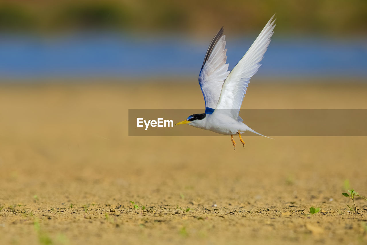 animal themes, animals in the wild, flying, animal wildlife, animal, one animal, bird, spread wings, vertebrate, selective focus, mid-air, no people, day, nature, land, motion, outdoors, full length, zoology, field, seagull