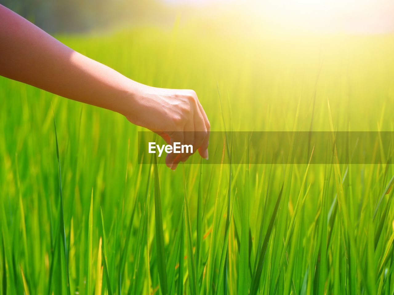 green color, human hand, human body part, hand, plant, one person, land, real people, field, nature, grass, body part, unrecognizable person, beauty in nature, day, sunlight, growth, lifestyles, finger, outdoors, human limb
