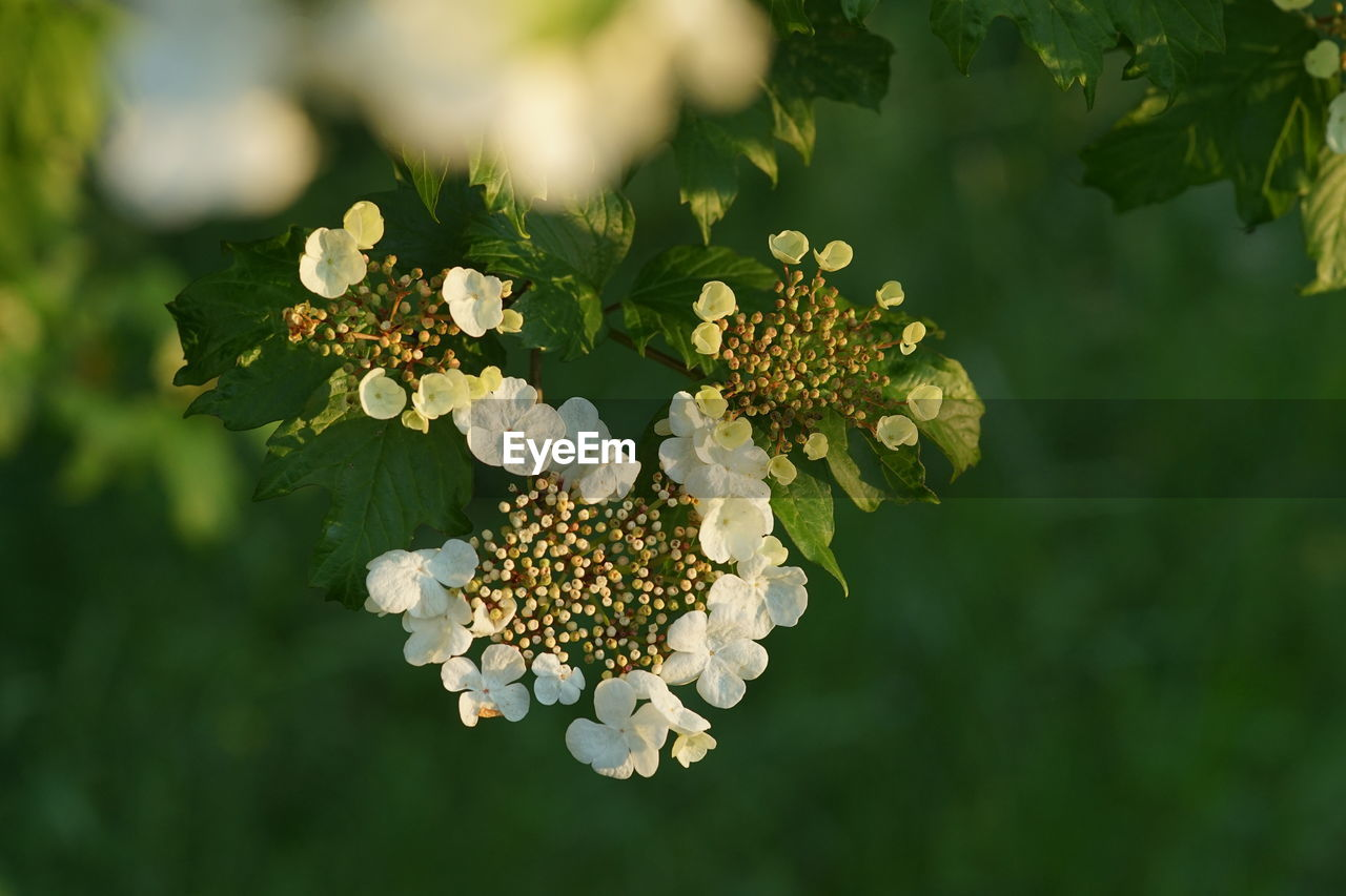 plant, flower, beauty in nature, growth, flowering plant, vulnerability, fragility, freshness, flower head, petal, inflorescence, close-up, no people, day, green color, focus on foreground, nature, white color, selective focus, leaf, outdoors, lantana, pollen, bunch of flowers