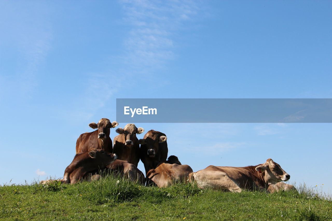 mammal, domestic, domestic animals, animal themes, pets, animal, group of animals, sky, vertebrate, livestock, cattle, field, cow, land, nature, grass, domestic cattle, day, plant, landscape, no people, herbivorous, herd