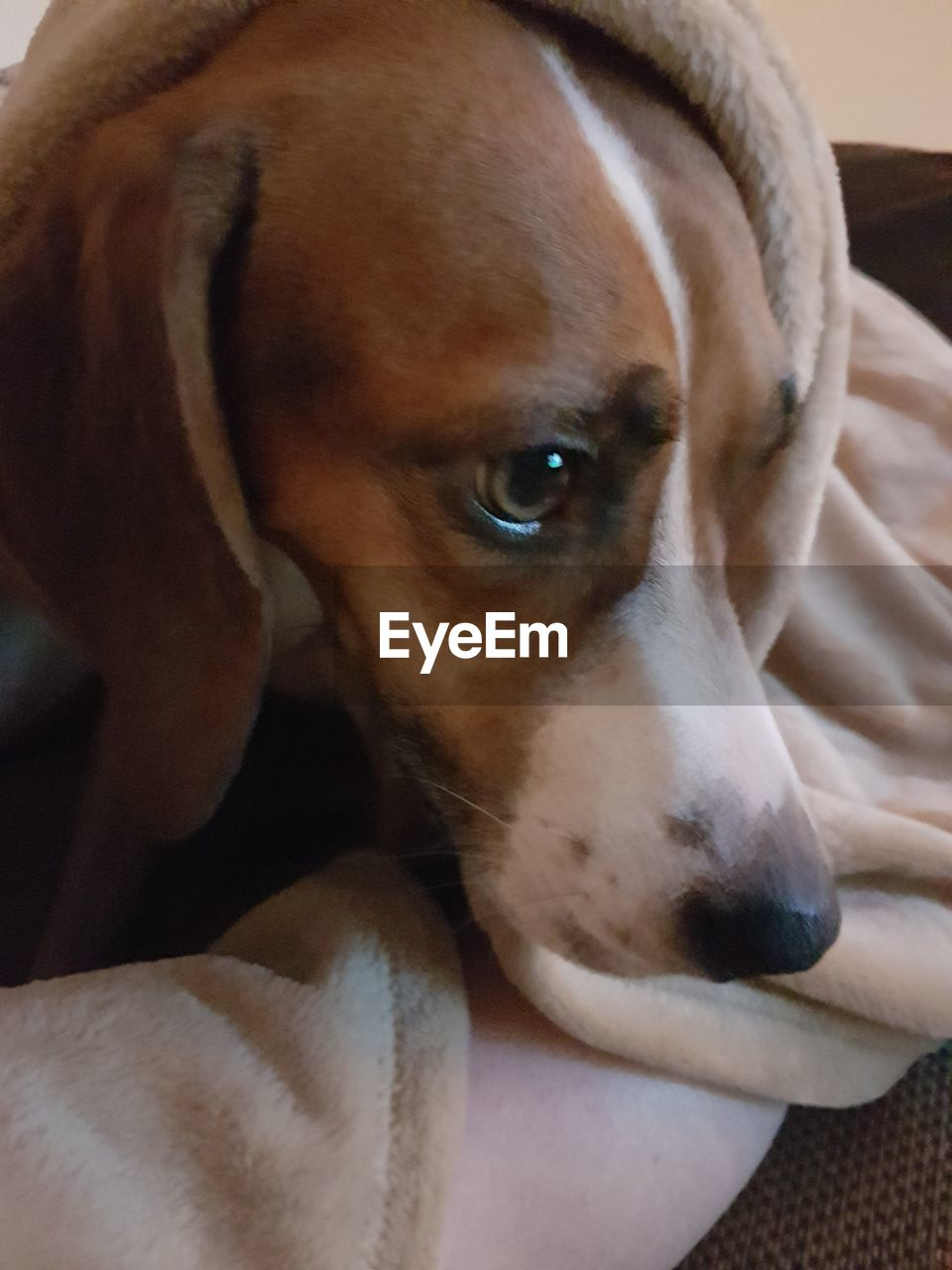 dog, pets, mammal, domestic animals, one animal, animal themes, indoors, close-up, no people, day, beagle