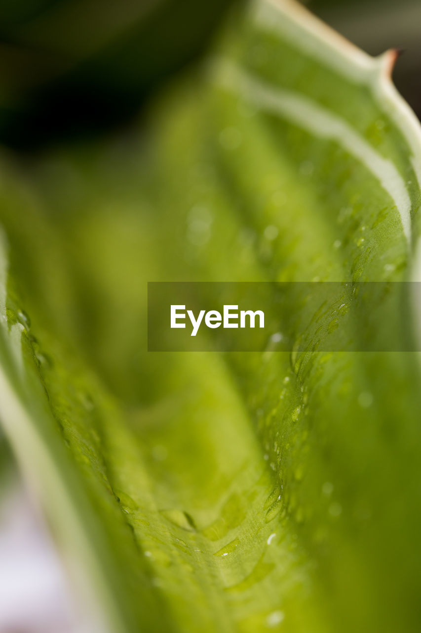 green color, food and drink, selective focus, freshness, close-up, no people, food, vegetable, healthy eating, leaf, wellbeing, plant part, cucumber, full frame, wet, water, nature, backgrounds, beauty in nature, mojito