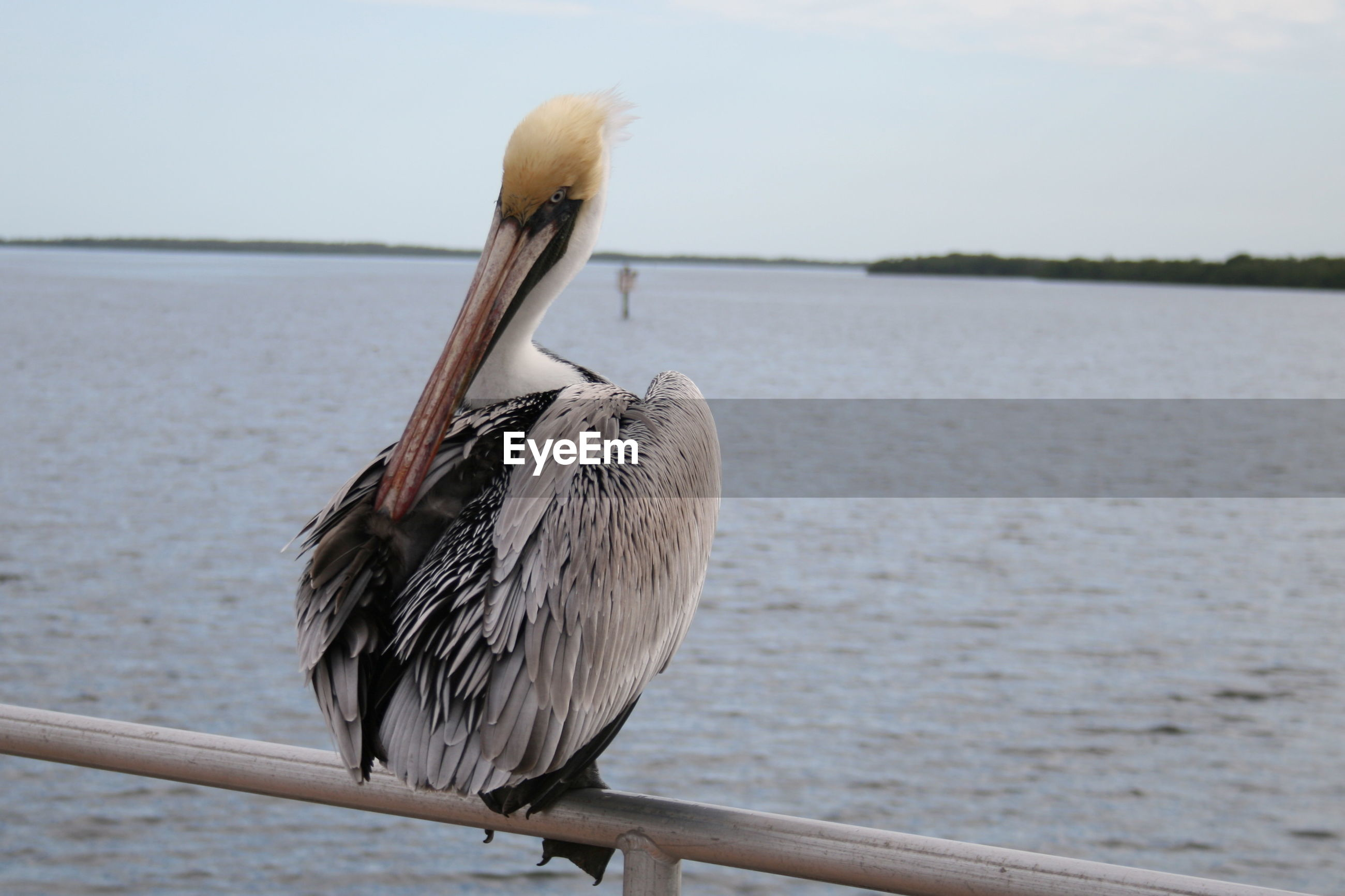 Close-up of pelican  perching on shore against sky