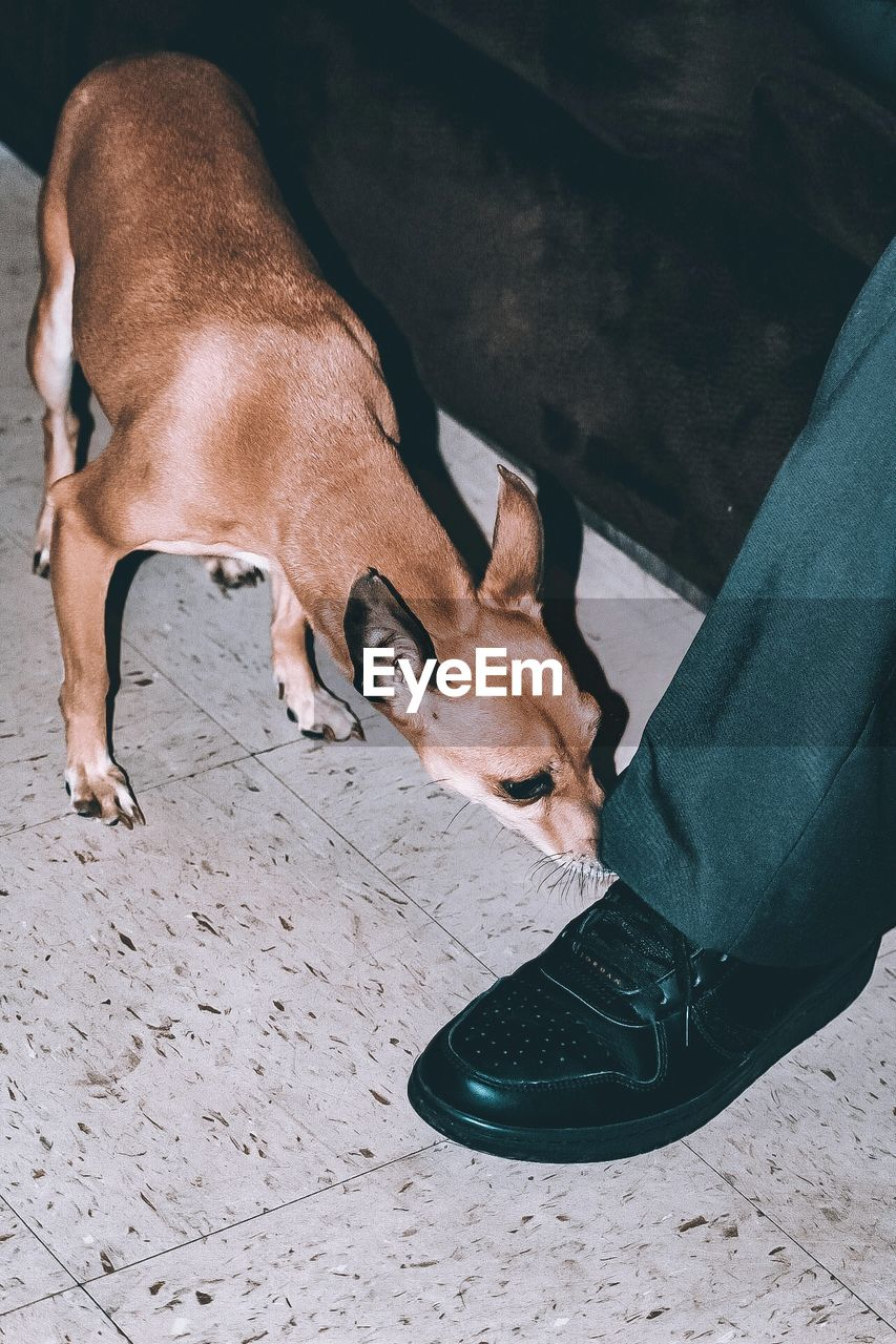 domestic animals, pets, mammal, domestic, dog, vertebrate, canine, one animal, low section, high angle view, human body part, people, real people, human leg, shoe, brown, men, flooring, pet owner