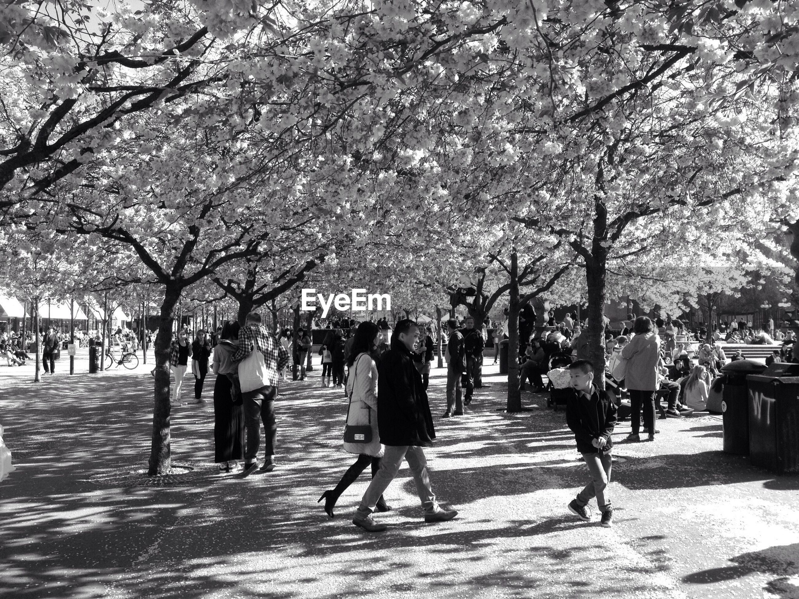 Blossoming cherries in crowded park