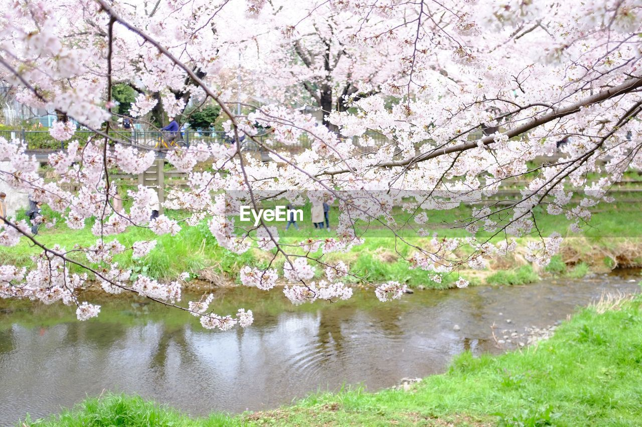 flower, cherry blossom, tree, blossom, springtime, beauty in nature, cherry tree, nature, branch, apple blossom, almond tree, fragility, growth, apple tree, botany, orchard, freshness, lake, no people, scenics, white color, pink color, tranquility, outdoors, day, tranquil scene, water, plum blossom, green color, petal, spring, landscape, grass, flower head, blooming, sky