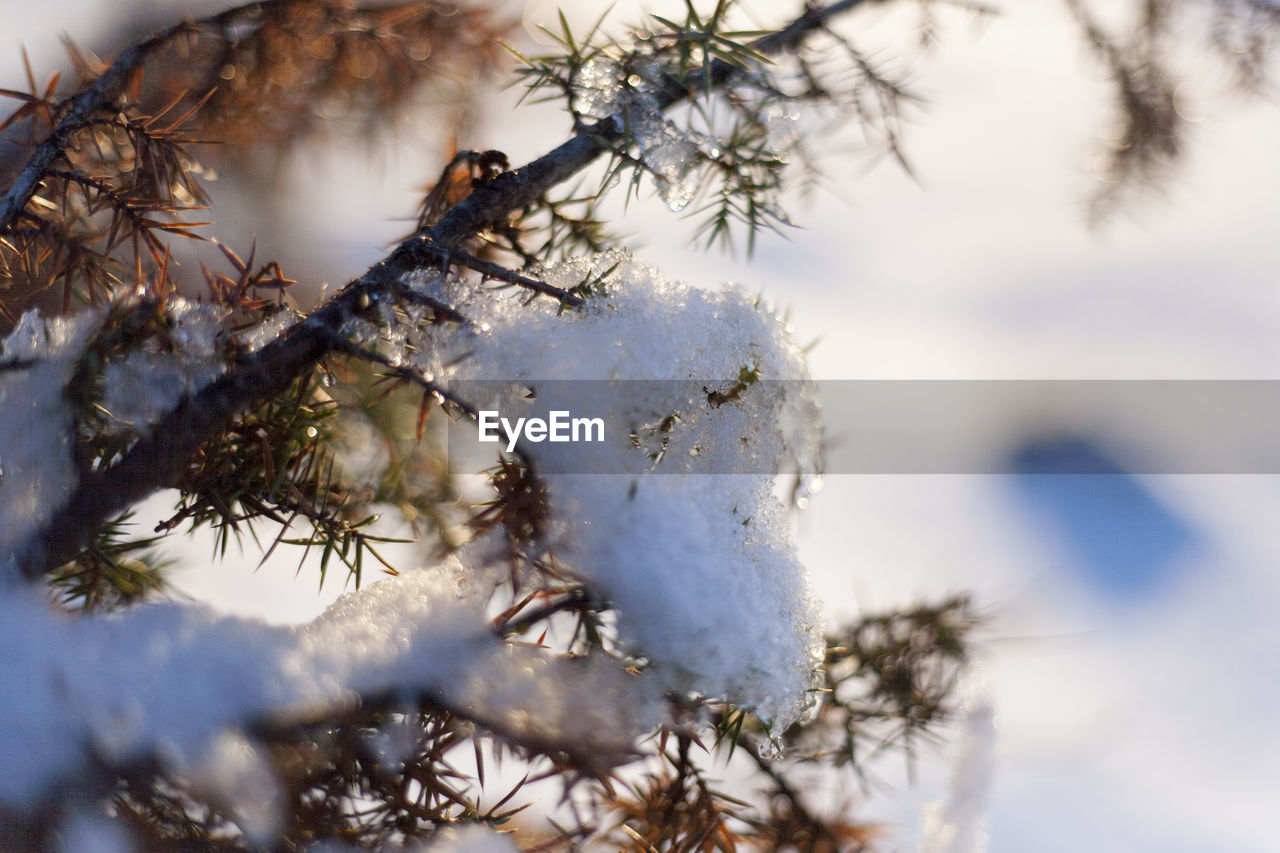 cold temperature, winter, snow, tree, plant, frozen, nature, beauty in nature, no people, close-up, day, selective focus, white color, branch, ice, focus on foreground, covering, growth, outdoors, cold, coniferous tree