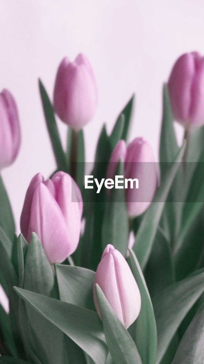 CLOSE-UP OF PINK TULIPS ON PURPLE FLOWERING PLANT